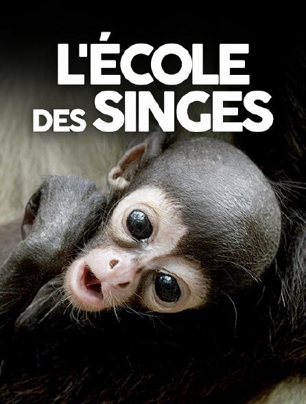 L'école des singes