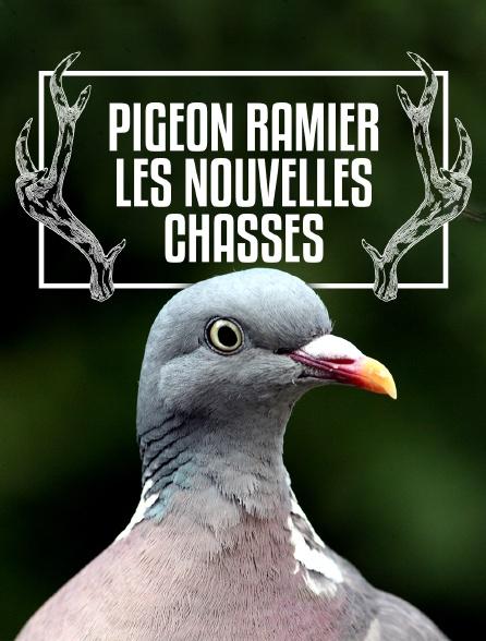 Pigeon ramier, les nouvelles chasses