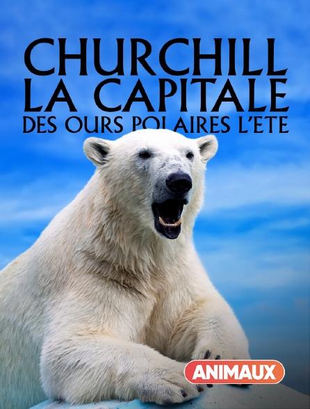Animaux - Churchill, la capitale des ours polaires, l'été