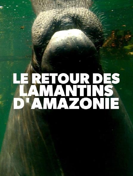 Le retour des lamantins d'Amazonie