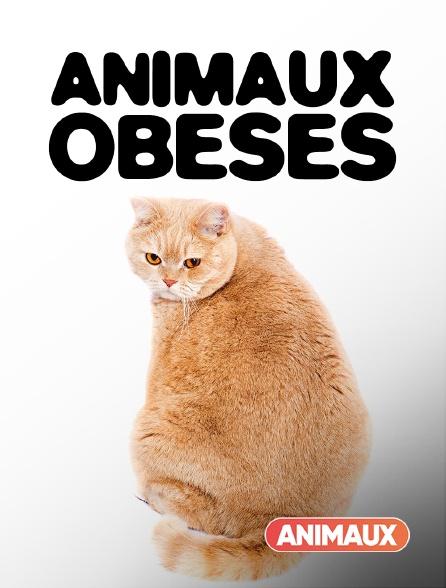 Animaux - Animaux obèses