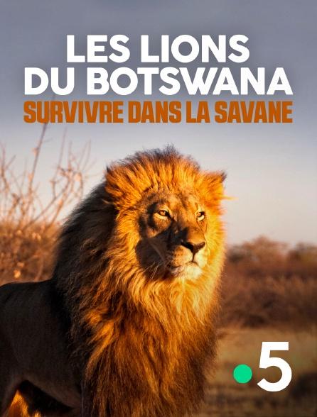 France 5 - Les lions du Botswana : Survivre dans la savane