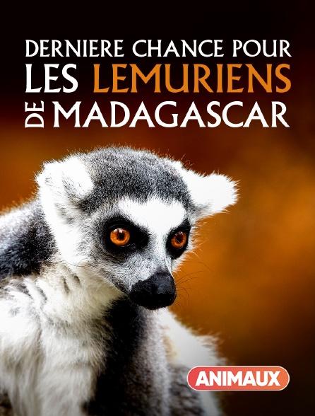 Animaux - Dernière chance pour les lémuriens de Madagascar