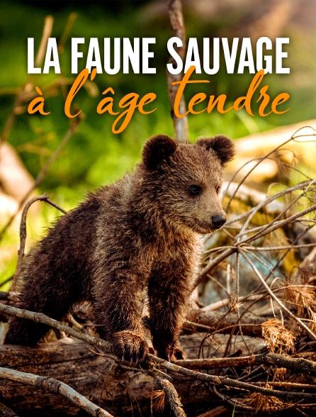 La faune sauvage à l'âge tendre