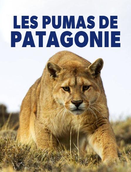 Pumas de Patagonie