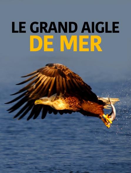Le grand aigle de mer