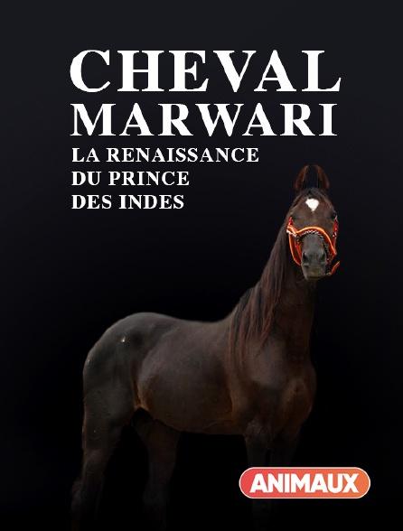 Animaux - Cheval Marwari, la renaissance du prince des Indes