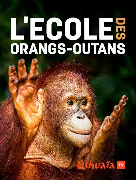 Ushuaïa TV - L'école des orangs-outans