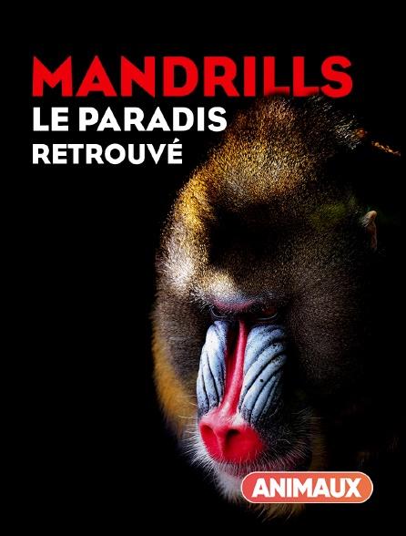 Animaux - Mandrills : le paradis retrouvé