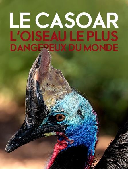 Le casoar, l'oiseau le plus dangereux du monde