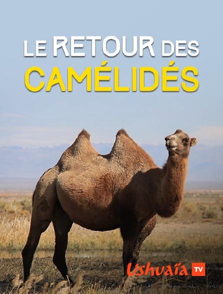 Ushuaïa TV - Le retour des camélidés