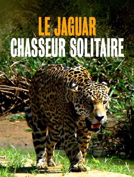 Le jaguar, chasseur solitaire