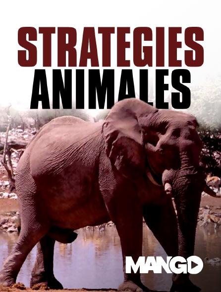 Mango - Stratégies animales