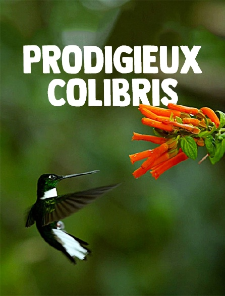Prodigieux colibris