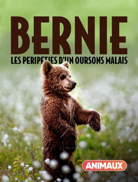 Animaux - Bernie, les péripéties d'un ourson malais