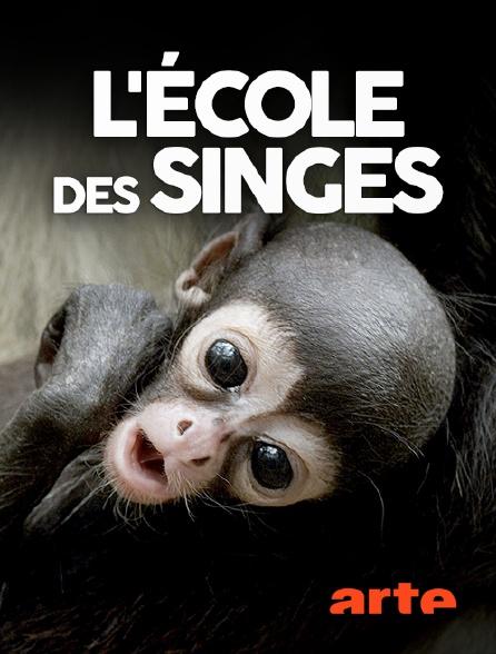 Arte - L'école des singes