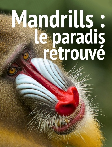 Mandrills : le paradis retrouvé
