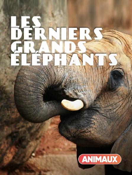 Animaux - Les derniers grands éléphants