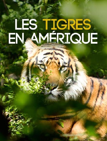 Les tigres en Amérique