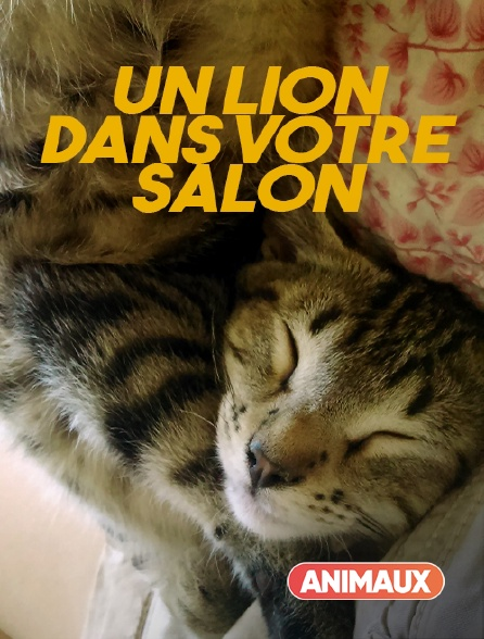 Animaux - Un lion dans votre salon