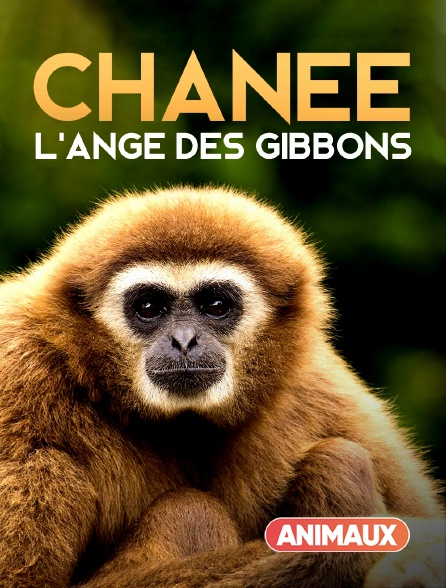 Animaux - Chanee, l'ange des gibbons