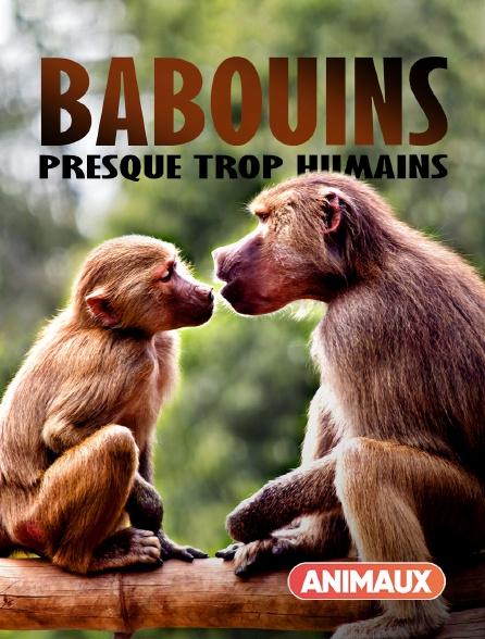 Animaux - Babouins : presque trop humains