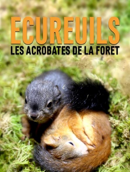 Ecureuils, les acrobates de la forêt