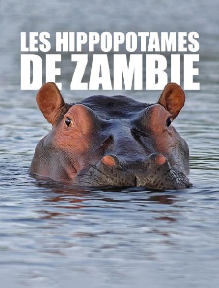 Les hippopotames de Zambie