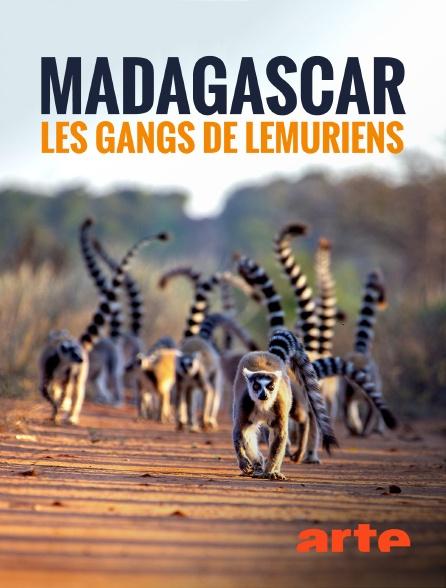 Arte - Madagascar : les gangs de lémuriens