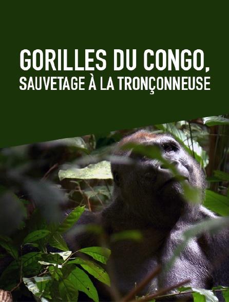 Gorilles du Congo, sauvetage à la tronçonneuse
