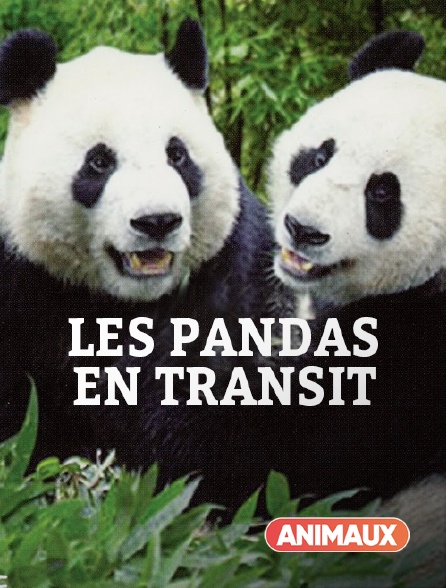 Animaux - Les pandas en transit