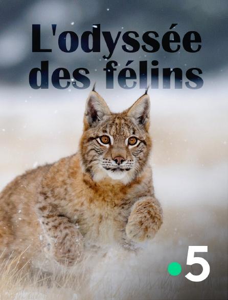 France 5 - L'odyssée des félins