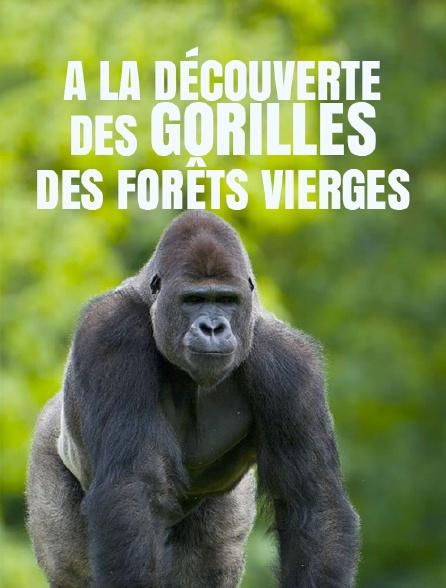 A la découverte des gorilles des forêts vierges