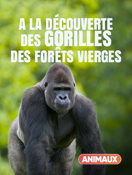 Animaux - A la découverte des gorilles des forêts vierges