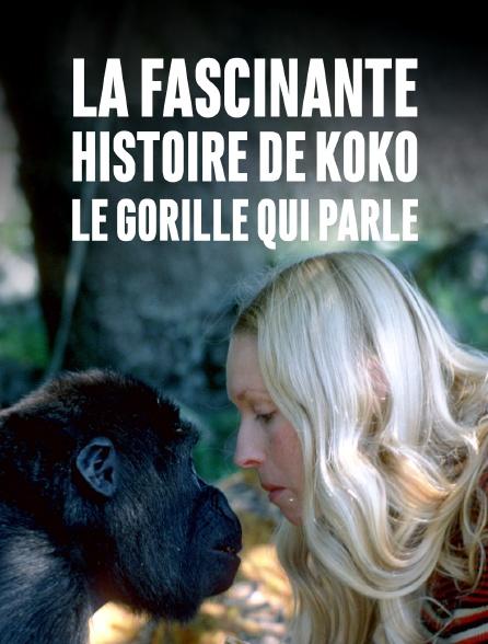 La fascinante histoire de Koko, le gorille qui parle
