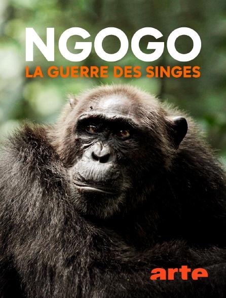 Arte - Ngogo : la guerre des singes